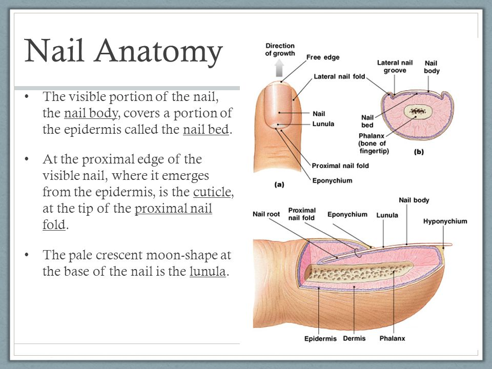 Exelent Anatomy Of Nail Gift - Nail Art Design Ideas - thewowproject ...