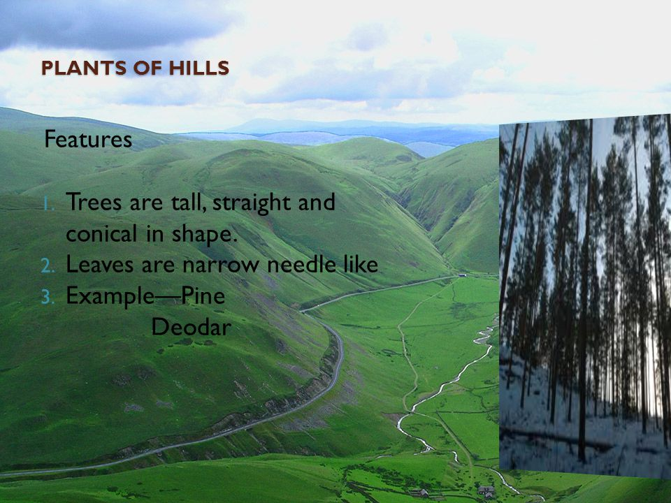 Trees are tall, straight and conical in shape.