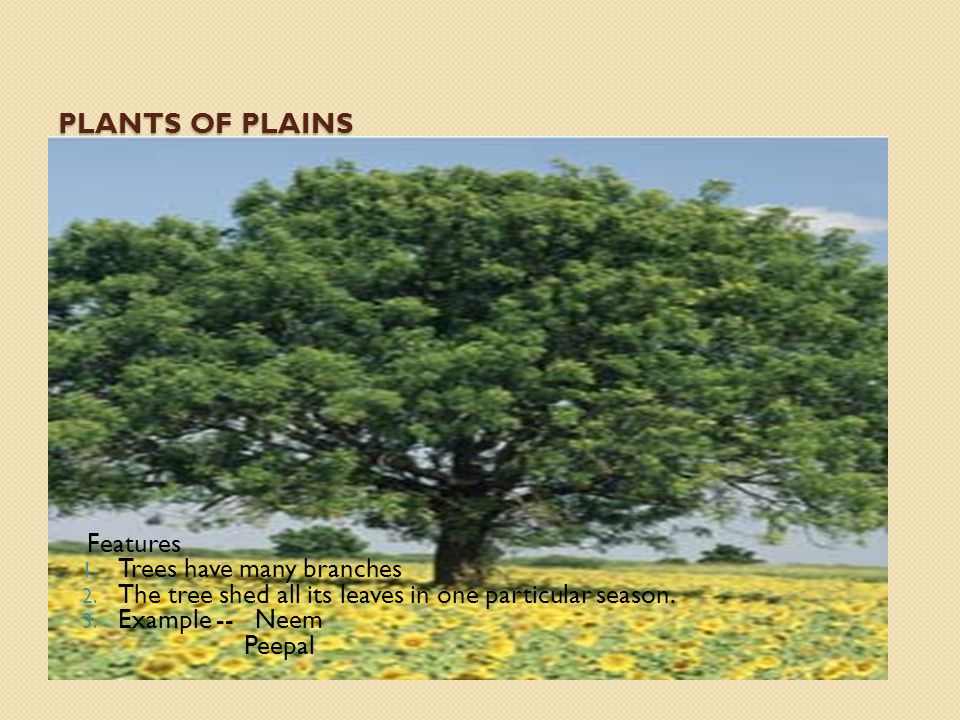 Plants of Plains Features Trees have many branches