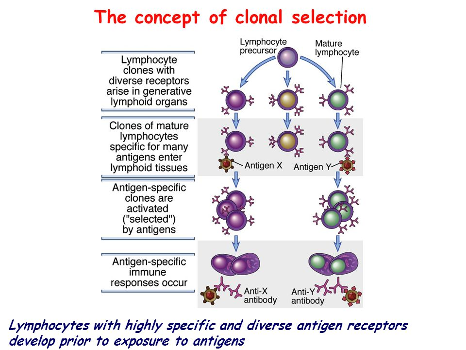 The concept of clonal selection