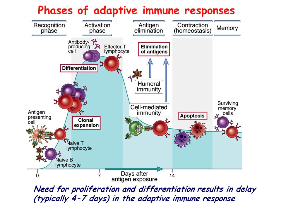 Phases of adaptive immune responses