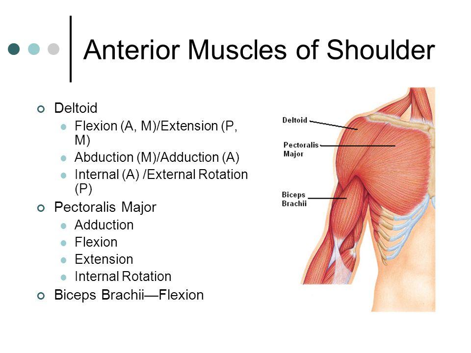 anterior deltoid muscles - photo #35