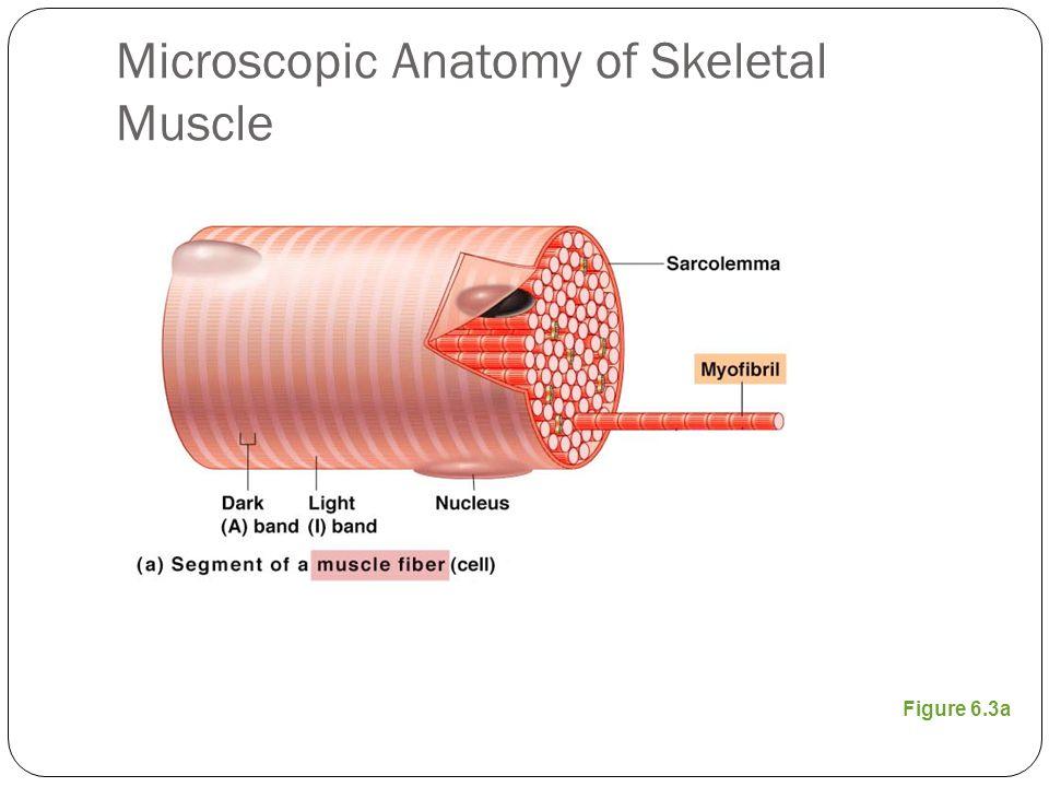 Microscopic Anatomy Of Skeletal Muscle