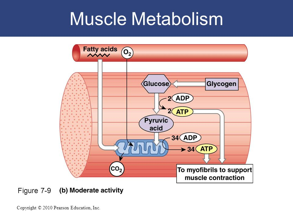 muscle metabolism Skeletal muscle is the primary site for the breakdown of carbohydrate (sugars) and fat for energy production visit nuffield health for more information.
