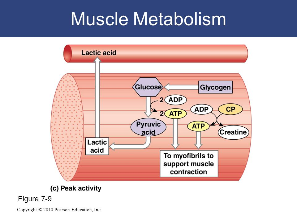 muscle metabolism Metabolism, the collection of chemical  specifically, the metabolic diseases of muscle interfere with chemical reac-tions involved in drawing energy from.