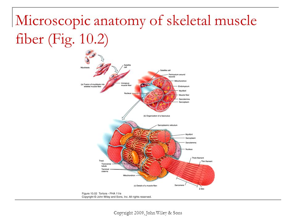 Attractive Microscopic Anatomy And Organization Of Skeletal Muscle