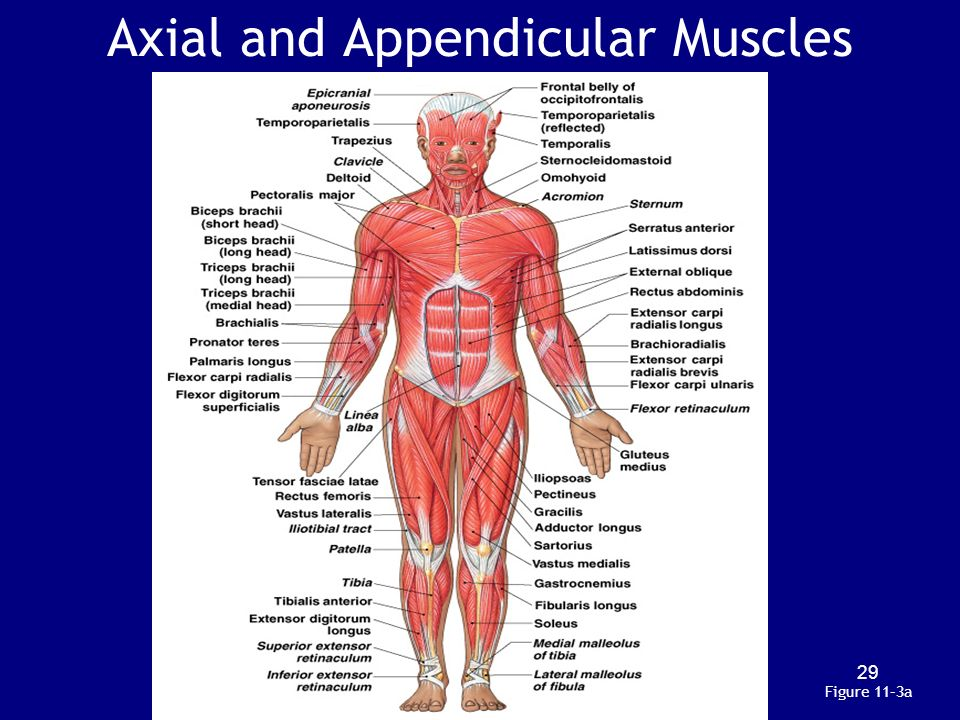 Skeletal Muscle moreover Answers The Muscles besides 93790 Organs Make Up Muscular System besides Drawing 9 as well 505529126899457378. on muscular system