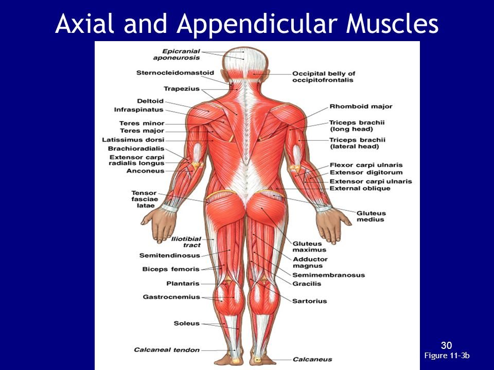 Axial And Appendicular System Term Paper Service