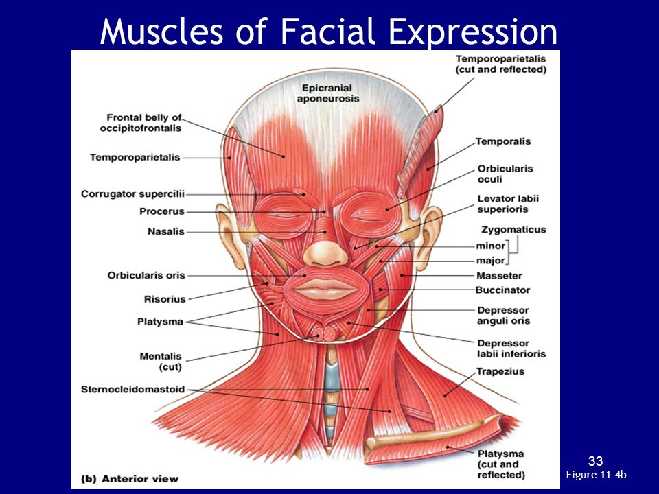 Muscles that control facial movement