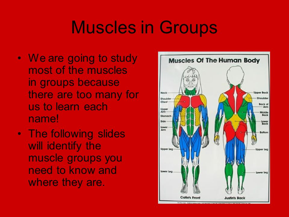the human muscular system - ppt download, Muscles
