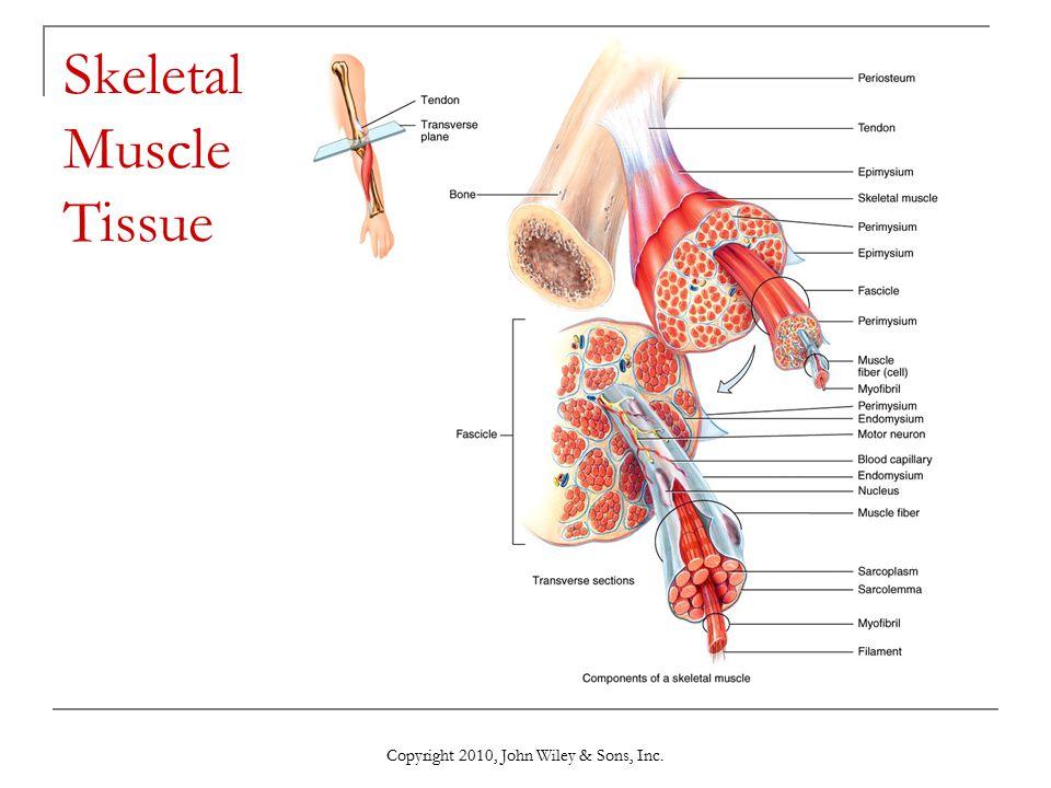 skeletal muscle tissue - Vatoz.atozdevelopment.co
