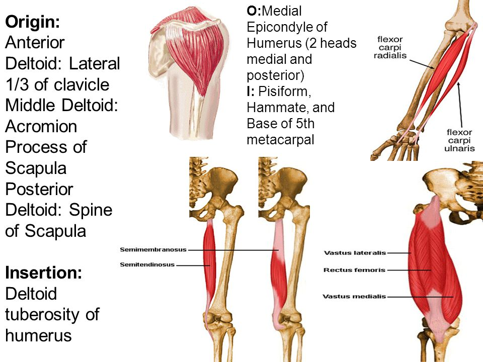 Images Of Deltoid Origin And Insertion Spacehero