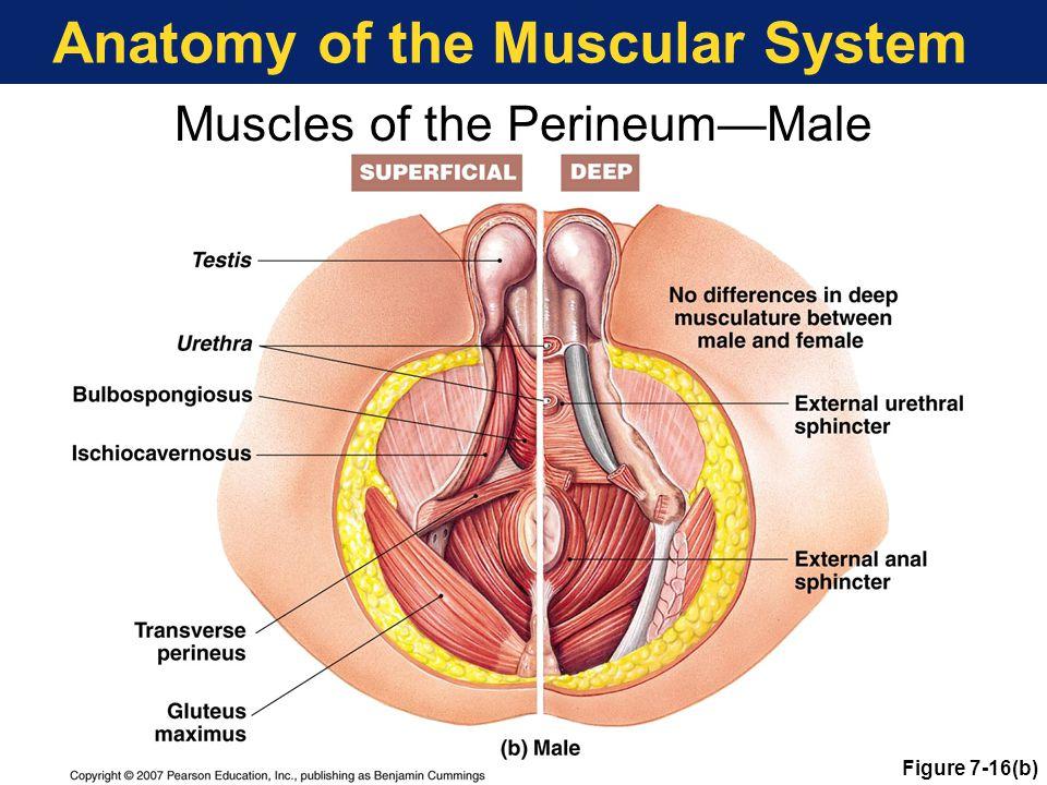 Male Anus Anatomy Image collections - human body anatomy