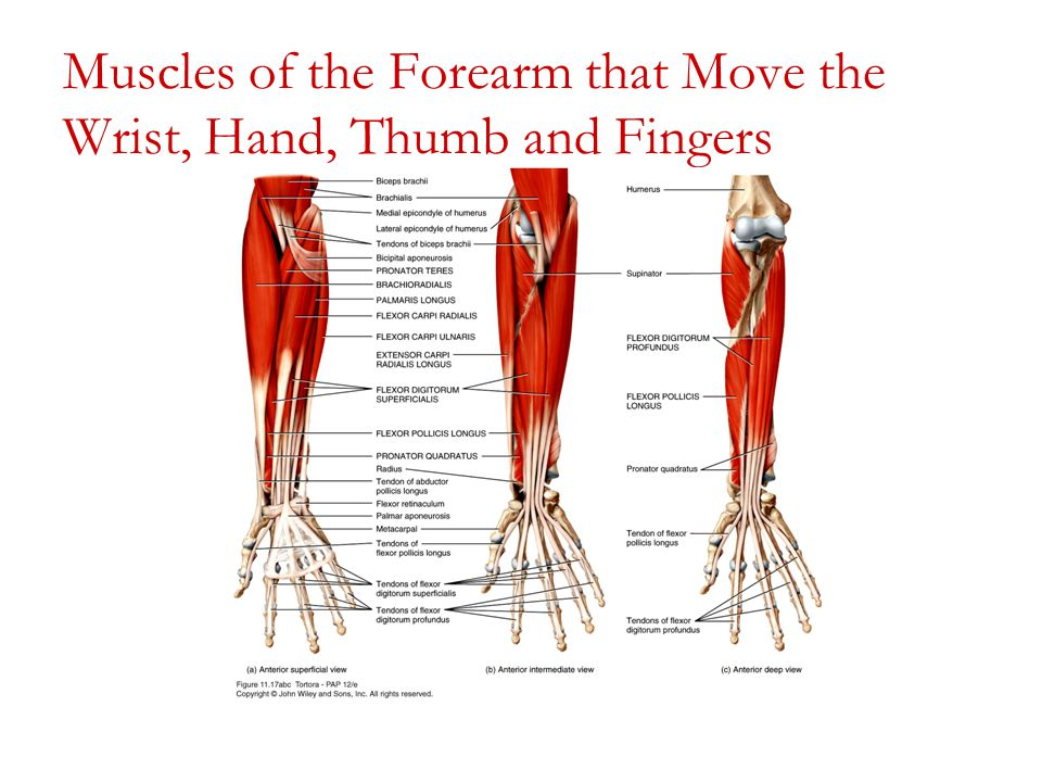 The Intrinsic Muscles of the Wrist and Hand - dummies