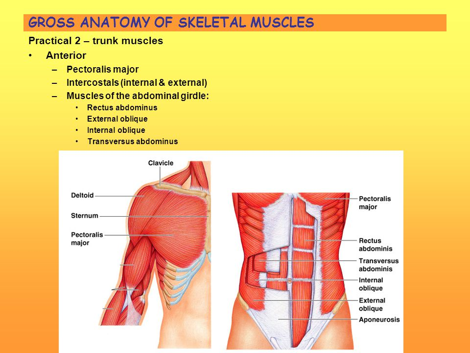 Perfect Gross Muscle Pictures Photo - Human Anatomy Images ...