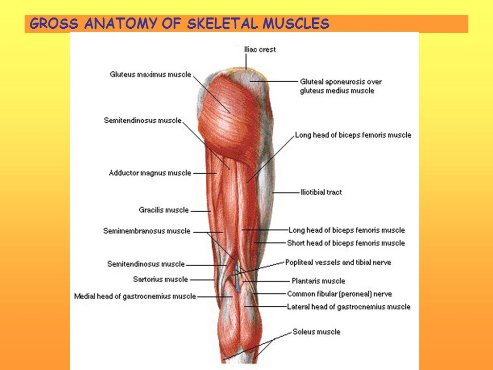 Muscle Gross Anatomy Choice Image Human Body Anatomy