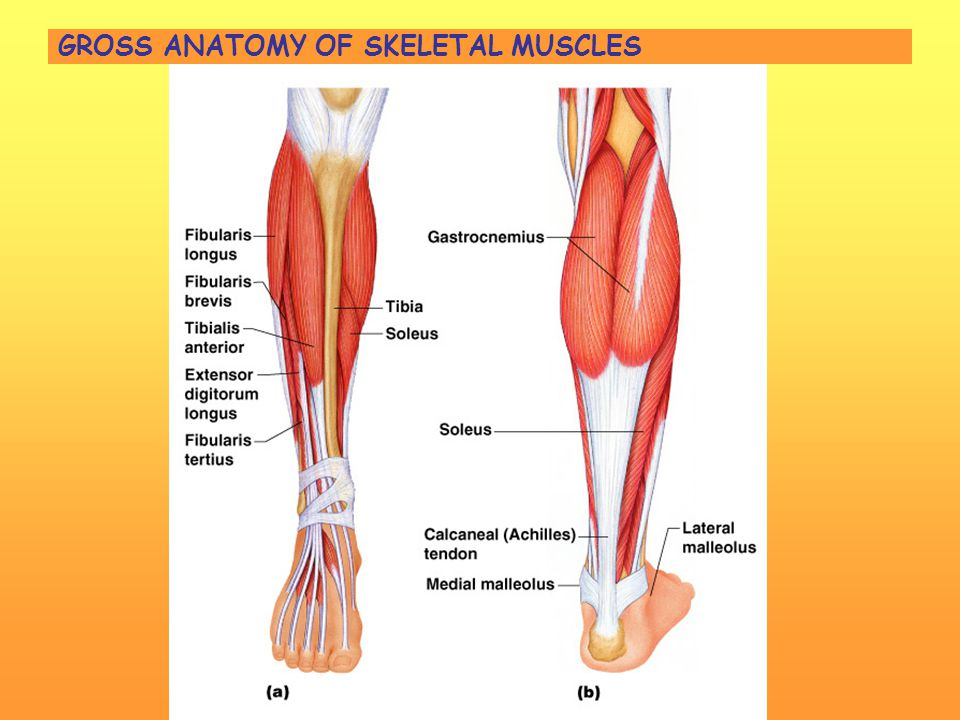Gross Anatomy Of Skeletal Muscles Images - human body anatomy