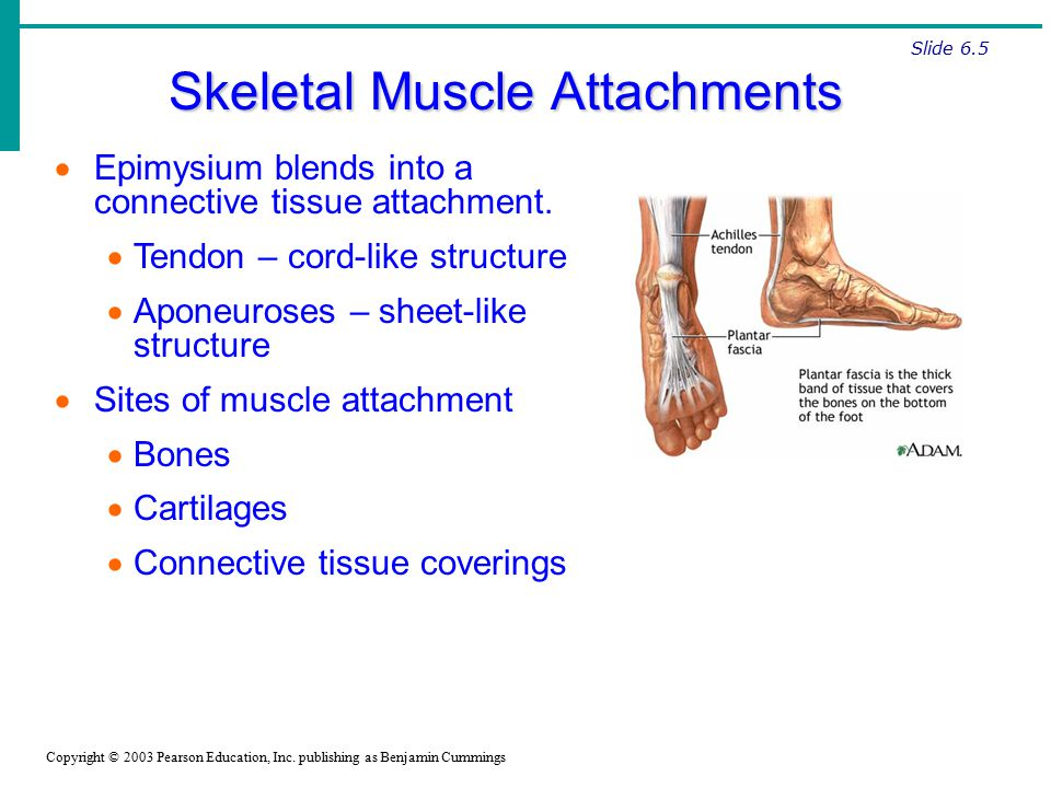 the skeletal attachment of tendons-tendon enthesis The enthesis (plural: entheses) is the connective tissue between tendon or  ligament and bone  this refers to the role of the enthesis as the site of  attachment of bones with tendons or ligaments  thus the words (enthesis and  insertion [of muscle]) are proximal in the semantic field, but insertion in reference  to muscle can.