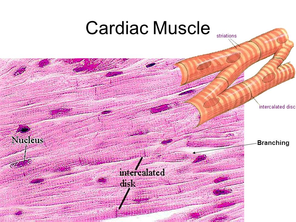 branched cardiac muscle fiber - photo #12
