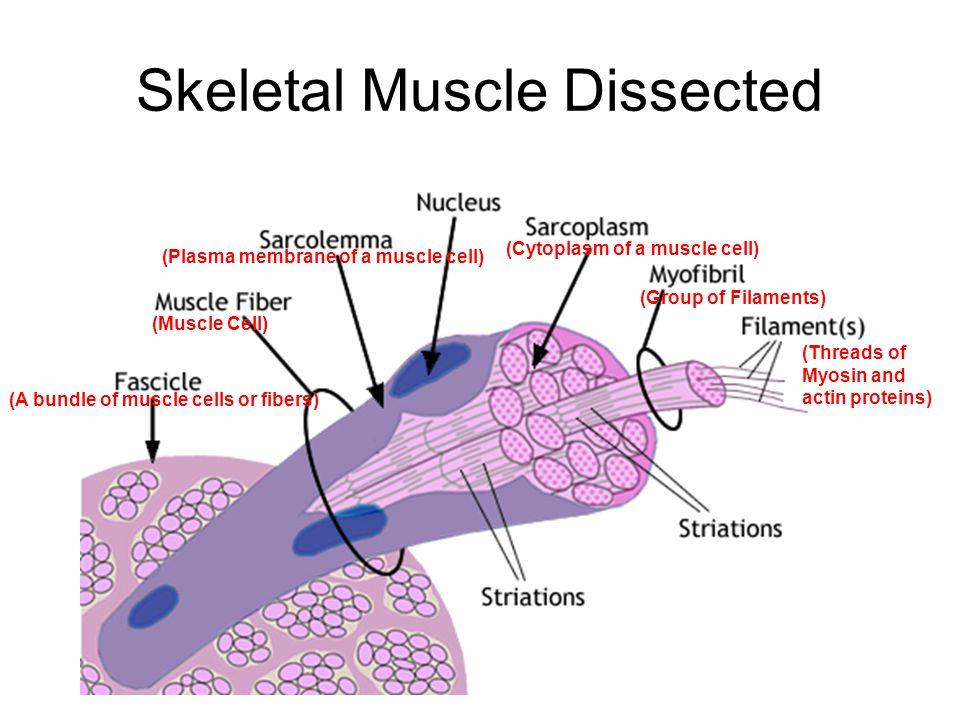 skeletal muscle cell diagram