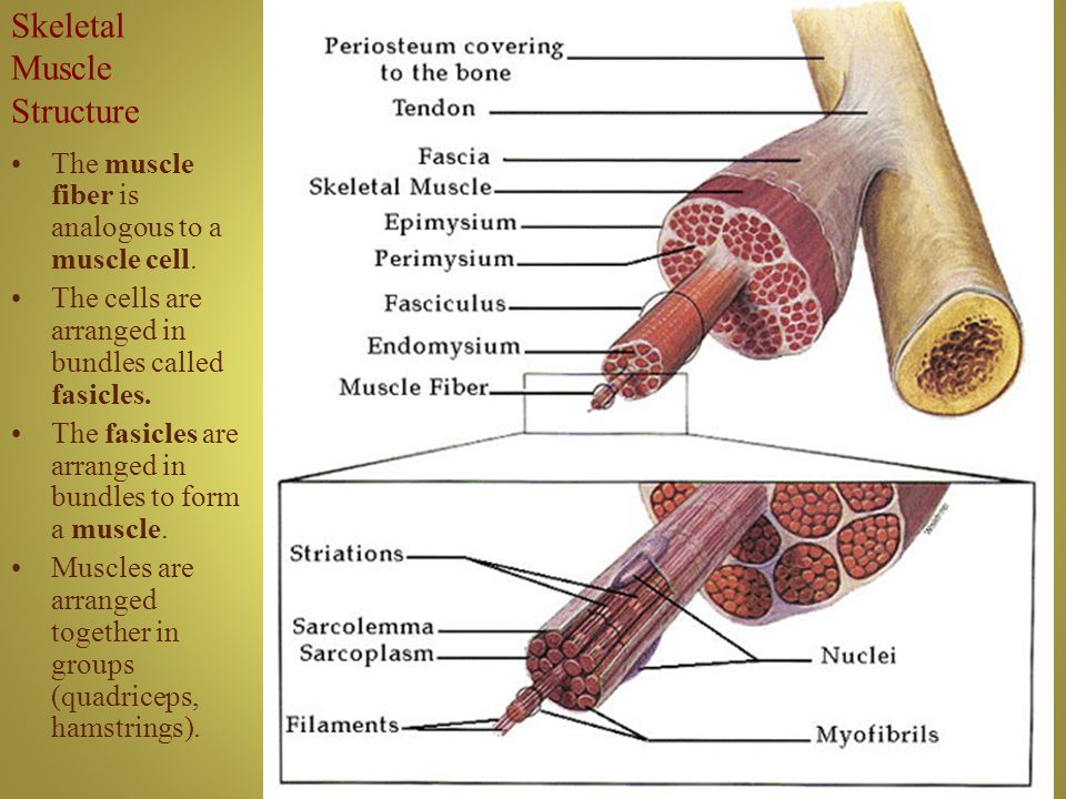 question set on skeletal muscle physiology The best videos and questions to learn about muscular system anatomy & physiology skeletal calcium ions perform during the contraction of skeletal muscle.