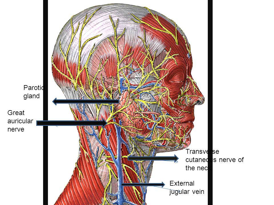 mastoid gland