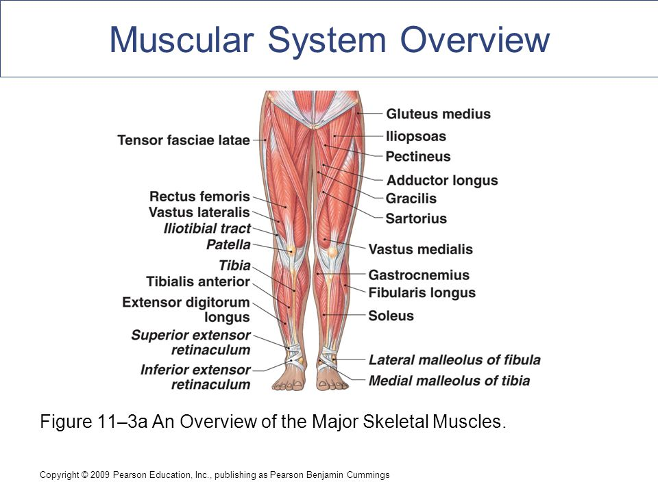 An Introduction to the Muscular System - ppt download