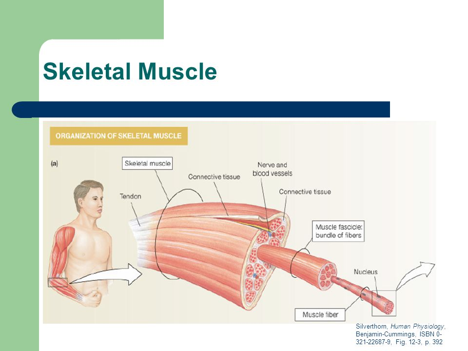 Physioex 8 Skeletal Muscle Lab Essay Example