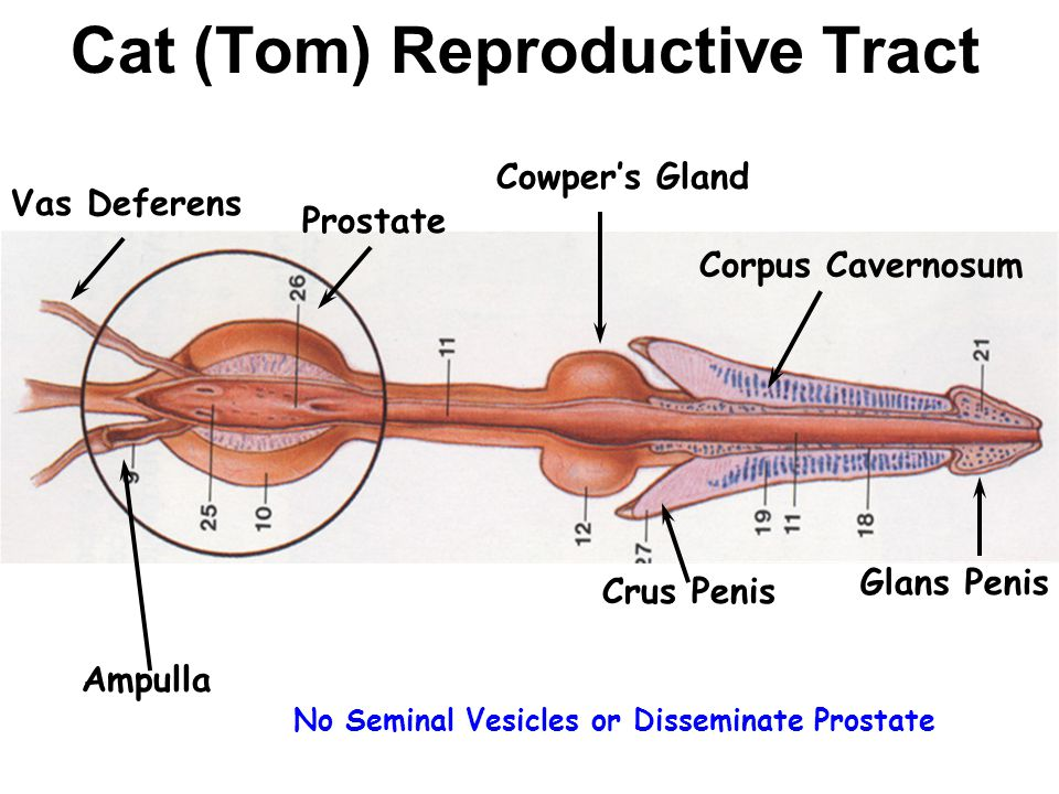 Male cat anatomy reproductive