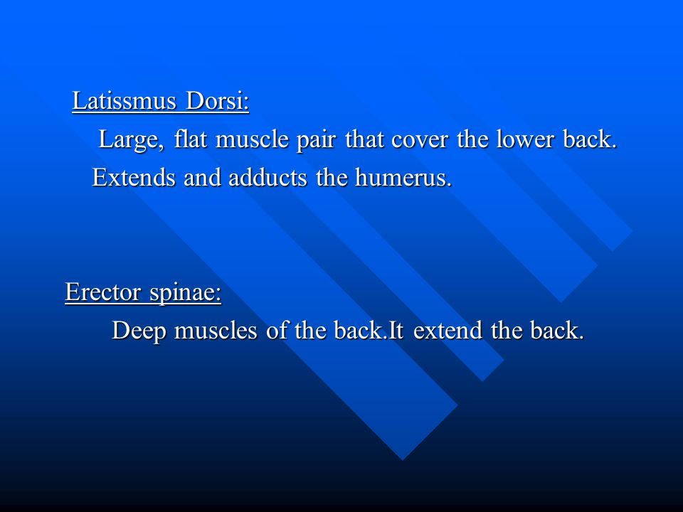 Latissmus Dorsi: Large, flat muscle pair that cover the lower back. Extends and adducts the humerus.