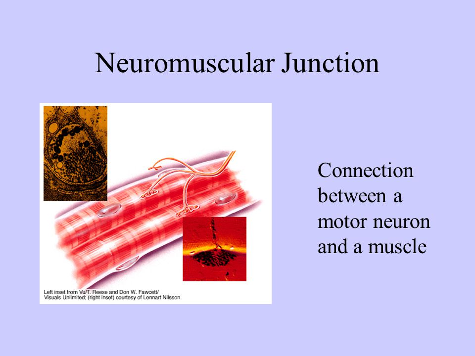 Muscular System Muscle Contraction ppt video online download – Neuron and Neuromuscular Junction Worksheet