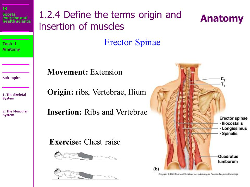 Muscle Origin And Insertion Definition And Actions 2015323