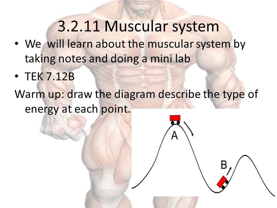 muscular system we will learn about the muscular system by taking, Muscles