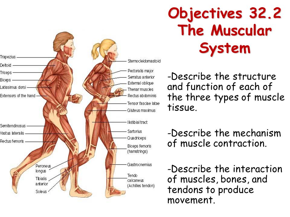 Objectives 32.2 The Muscular System - ppt video online download