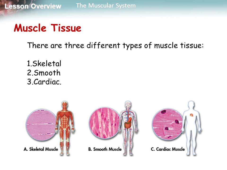 3 types of muscle tissue About half of a body's weight is muscle muscle tissue is of three distinct types: skeletal, cardiac, and smooth each type has a unique structure and a specific role.