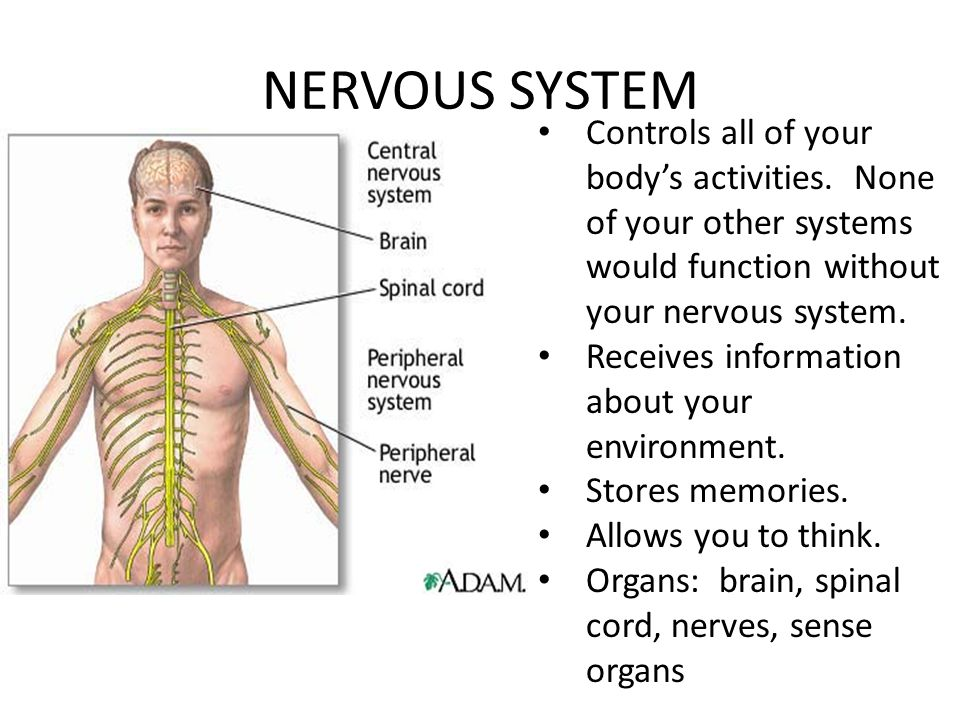 NERVOUS SYSTEM Controls all of your body's activities. None of your other systems would function without your nervous system.