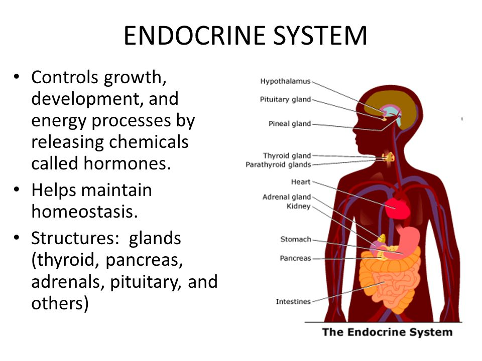 ENDOCRINE SYSTEM Controls growth, development, and energy processes by releasing chemicals called hormones.