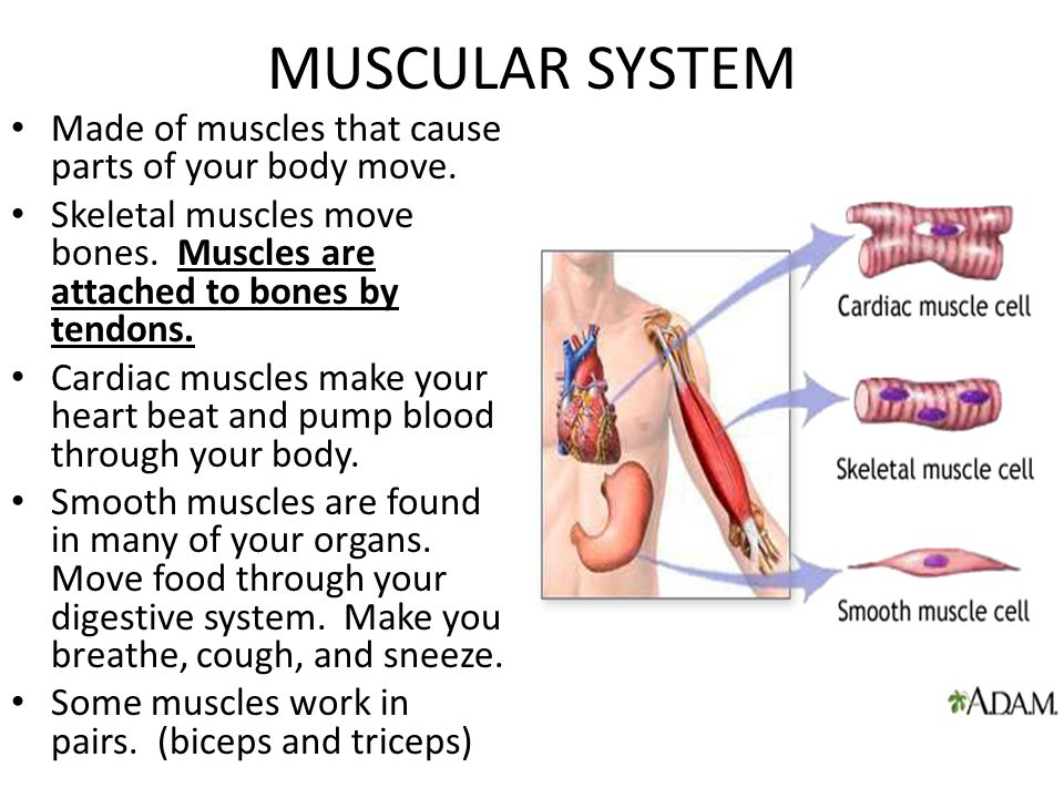 MUSCULAR SYSTEM Made of muscles that cause parts of your body move.