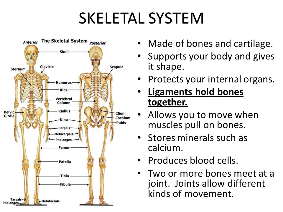 SKELETAL SYSTEM Made of bones and cartilage.