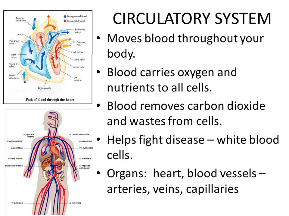 CIRCULATORY SYSTEM Moves blood throughout your body.