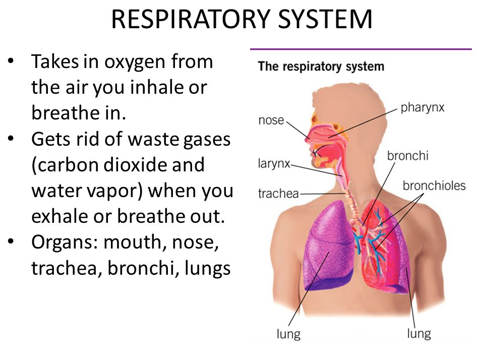 RESPIRATORY SYSTEM Takes in oxygen from the air you inhale or breathe in.