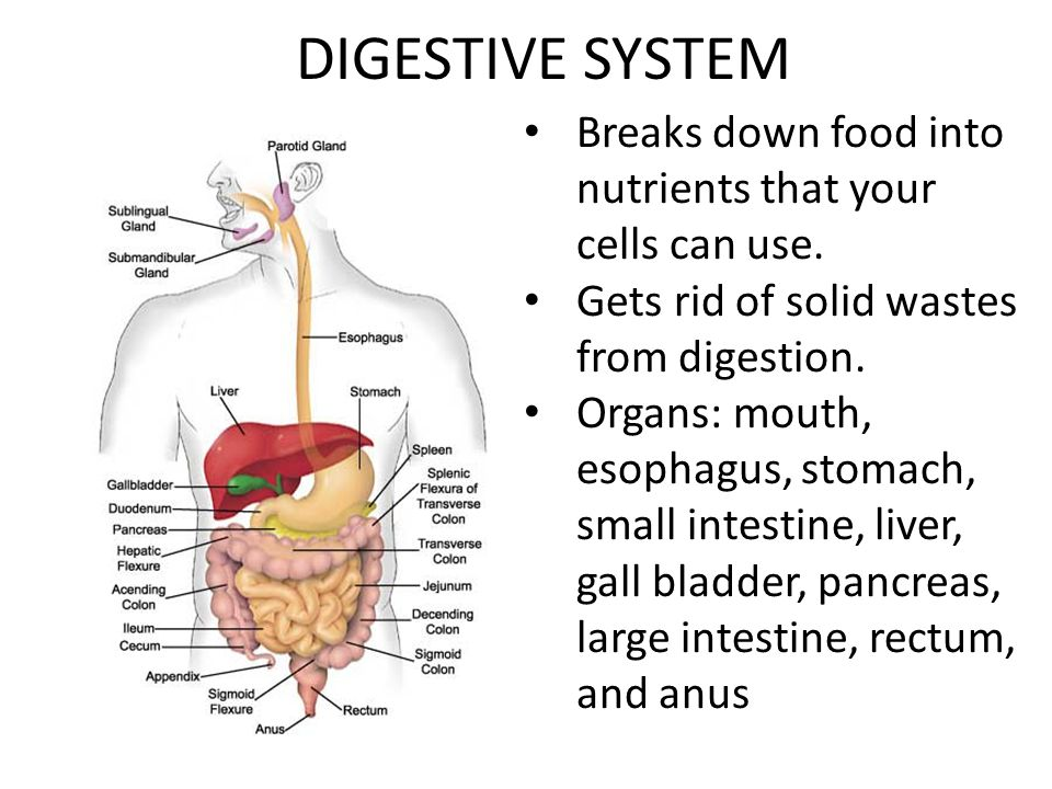 DIGESTIVE SYSTEM Breaks down food into nutrients that your cells can use. Gets rid of solid wastes from digestion.