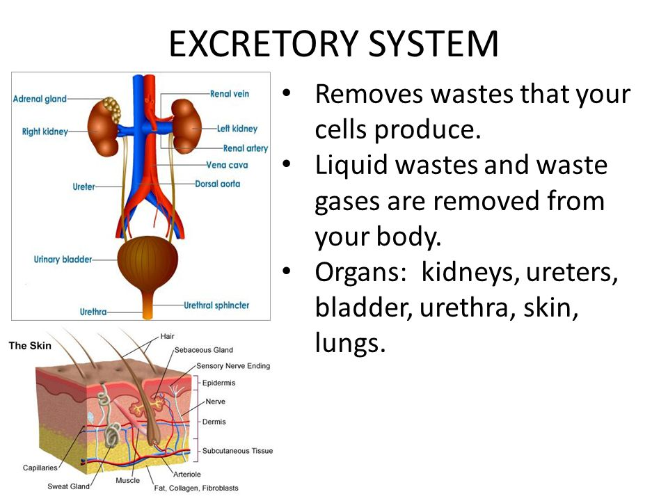 EXCRETORY SYSTEM Removes wastes that your cells produce.