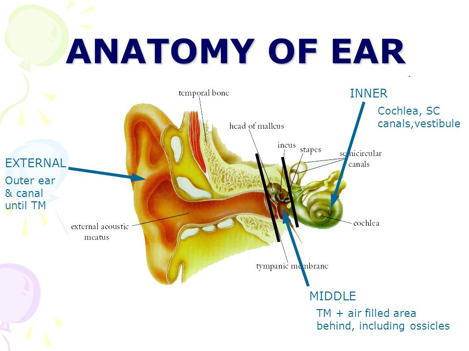 Anatomy of the ear canal