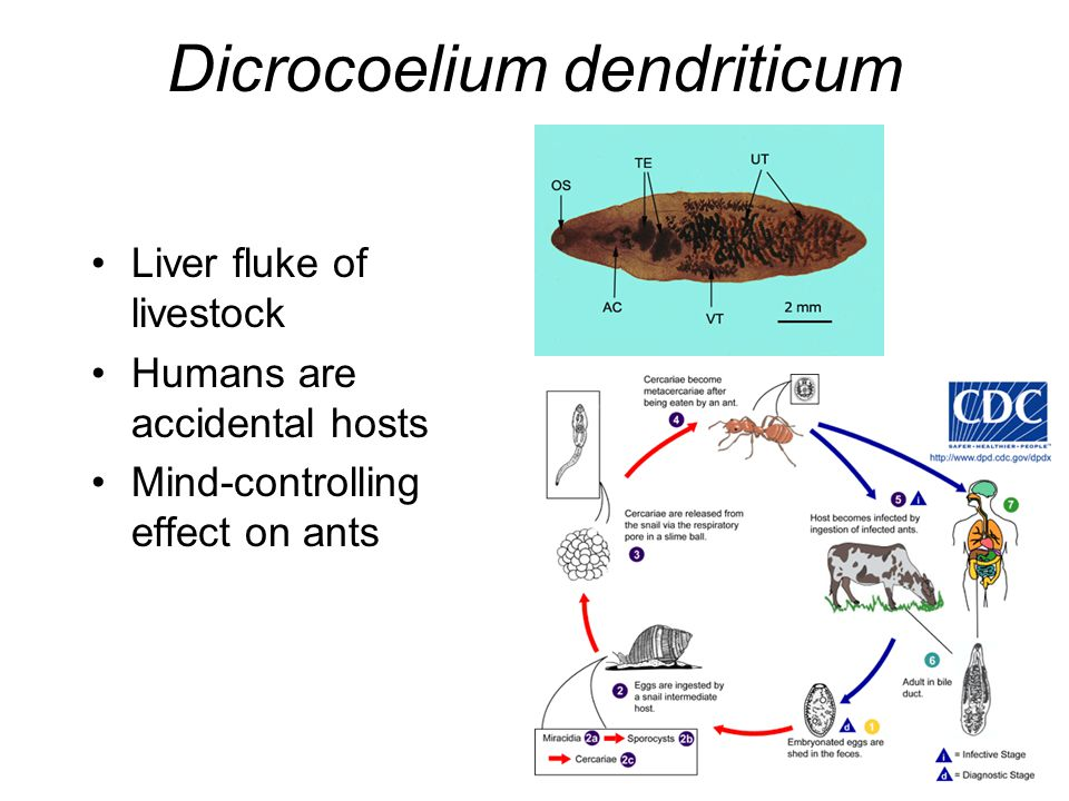 Platyhelminths as Human Parasites - ppt video online download
