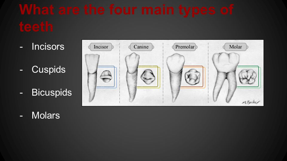 What are the four main types of teeth