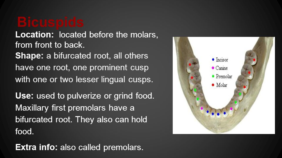 Bicuspids Location: located before the molars, from front to back.