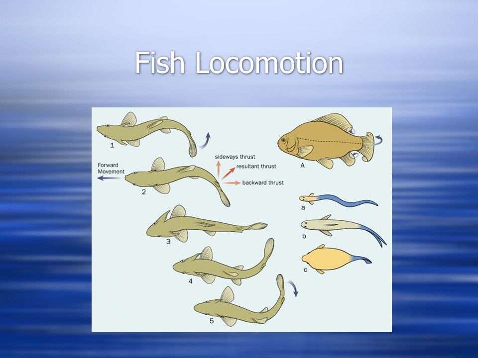 fish locomotion Fish locomotion • primary forces involved in fish swimming: - thrust - force that propels forward- drag - friction produced from passing an object through a medium - gravity - force from earth's magnetic pull (partially counterbalanced by density of water) - lift - upward force that counteracts gravity.