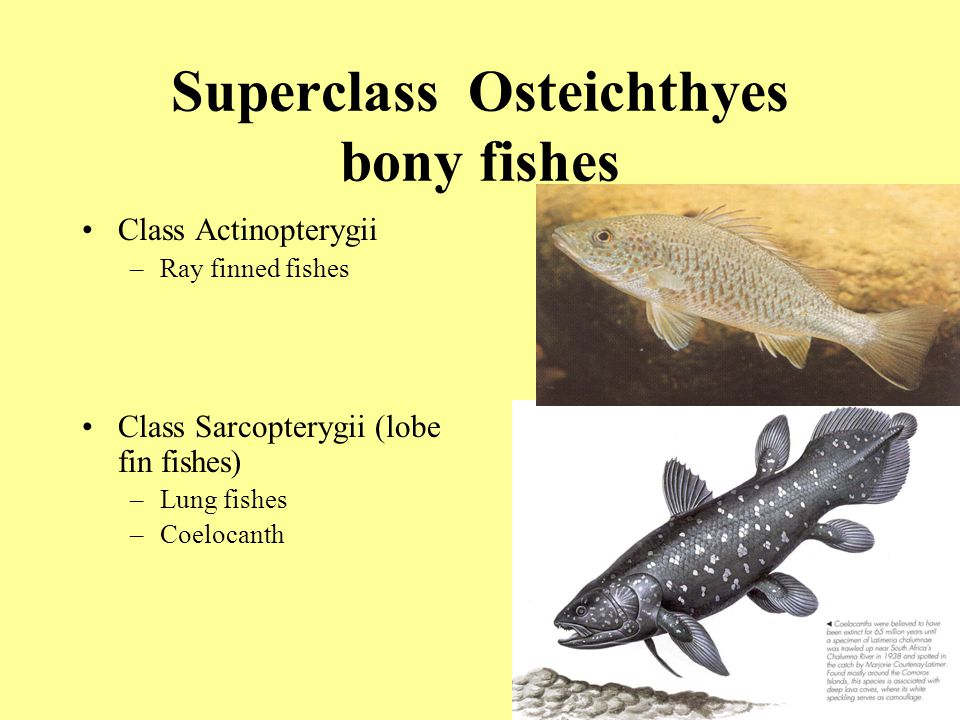 the characteristics of coelacanth a family of bony fishes Animals: vertebrates characteristics of chordata the (a) sockeye salmon and (b) coelacanth are both bony fishes of the osteichthyes clade.