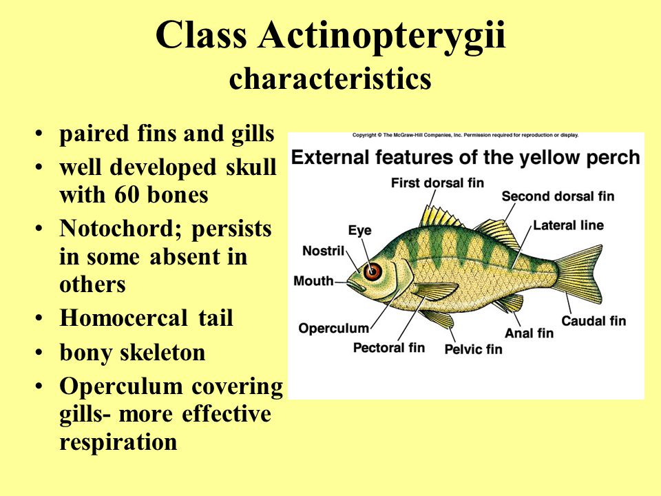 Superclass osteichthyes bony fishes class actinopterygii for Bony fish characteristics